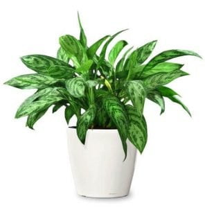 chinese evergreen best office desk plants