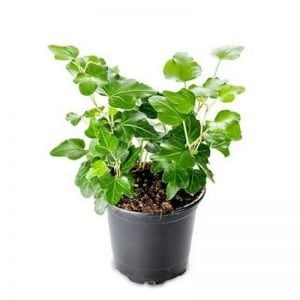 english ivy best office desk plants