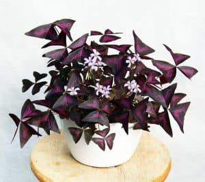 oxalis plant